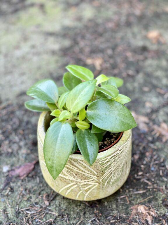 Zdjęcie rośliny Peperomia Pixie, ujęcie 1
