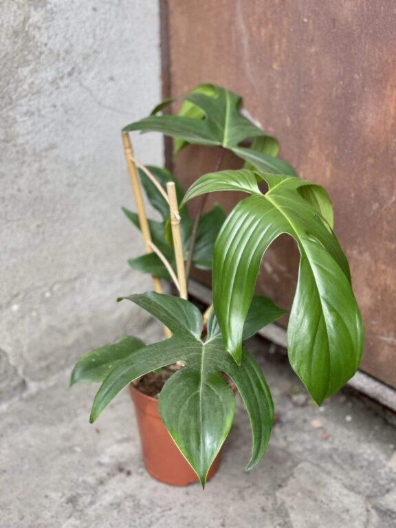 Zdjęcie rośliny Philodendron Florida Green, ujęcie 1