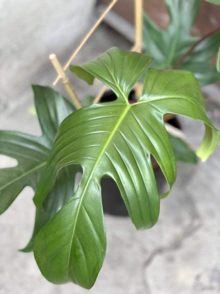 Zdjęcie rośliny Philodendron Florida Green, ujęcie 3