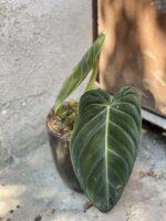 Zdjęcie rośliny Philodendron melanochrysum, ujęcie 1