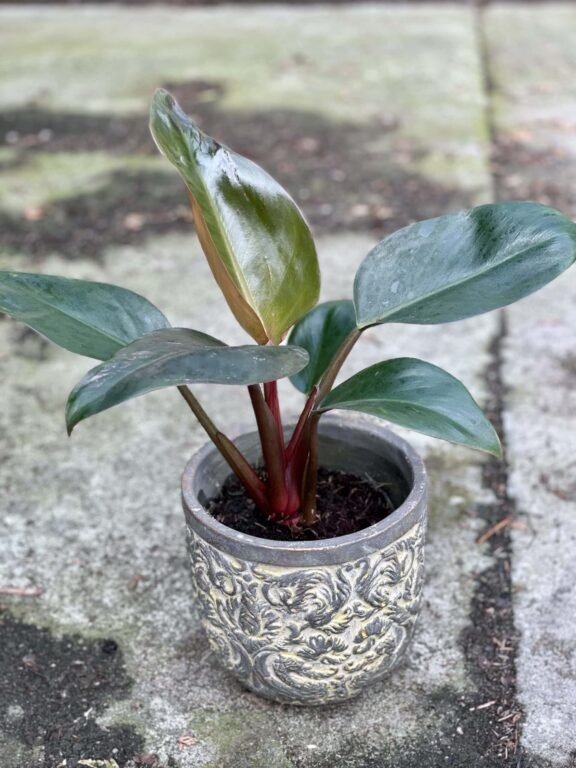 Zdjęcie rośliny Philodendron Rojo Congo, ujęcie 1