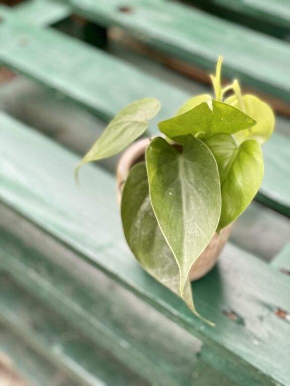 Zdjęcie rośliny Philodendron Scandens, ujęcie 1