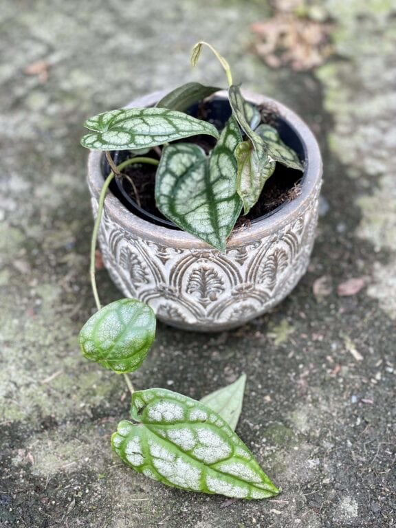 Zdjęcie rośliny Piper sylvaticum, ujęcie 1