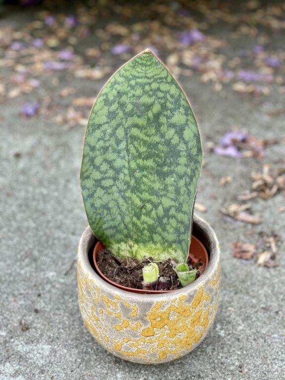 Zdjęcie rośliny Sansevieria Masoniana, ujęcie 1