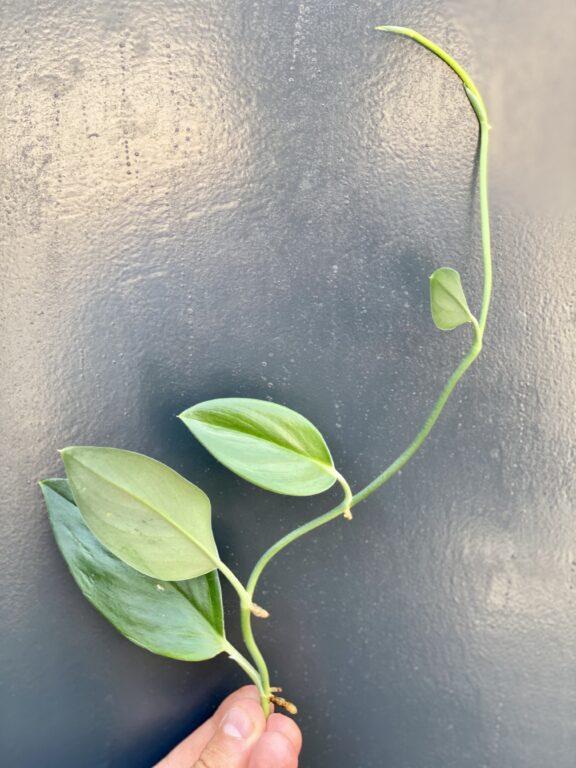 Zdjęcie rośliny Scindapsus treubii Dark Form - sadzonka szczytowa, ujęcie 1