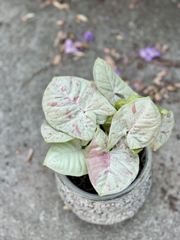 Zdjęcie rośliny Syngonium Milk Confetti, ujęcie 1