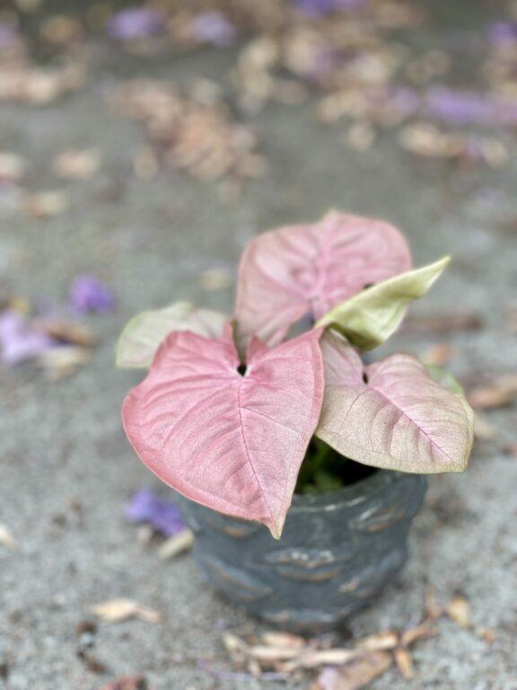 Zdjęcie rośliny Syngonium Neon Robusta, ujęcie 1