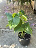 Zdjęcie rośliny Syngonium Podophyllum Emerald Gem, ujęcie 1
