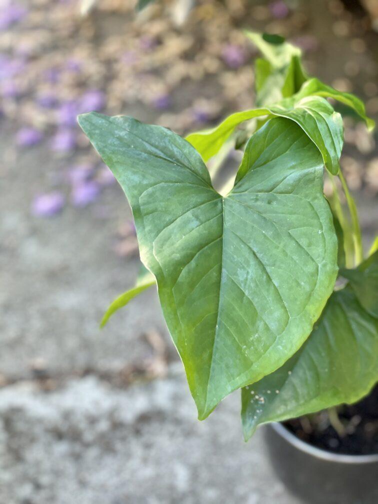 Zdjęcie rośliny Syngonium Podophyllum Emerald Gem, ujęcie 2