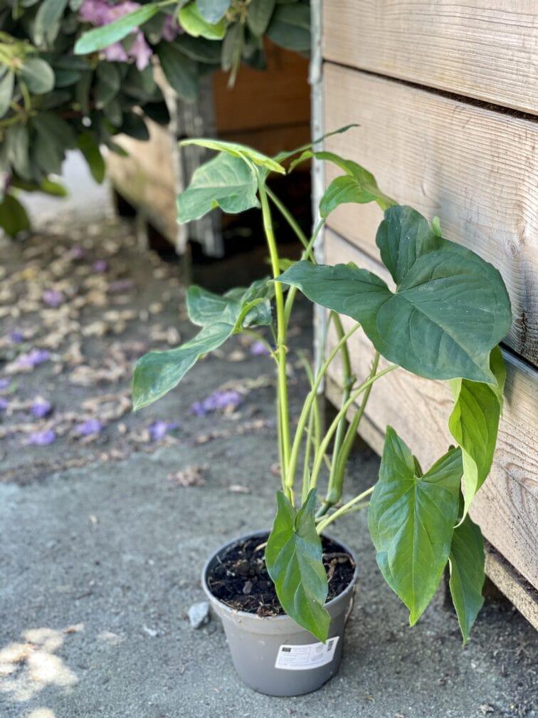 Zdjęcie rośliny Syngonium Podophyllum Emerald Gem, ujęcie 3