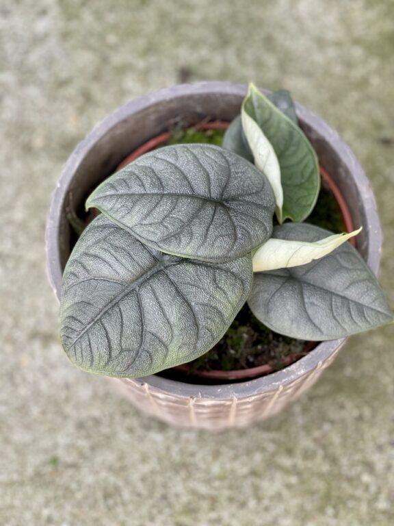 Zdjęcie rośliny Alocasia Melo, ujęcie 1