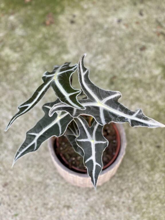 Zdjęcie rośliny Alocasia sanderiana nobilis, ujęcie 1