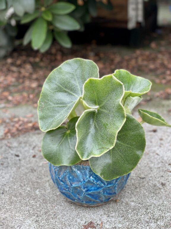 Zdjęcie rośliny Begonia venosa, ujęcie 1