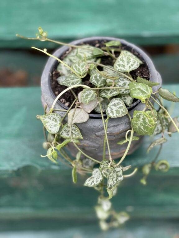 Zdjęcie rośliny Ceropegia woodii String of Spades, ujęcie 1