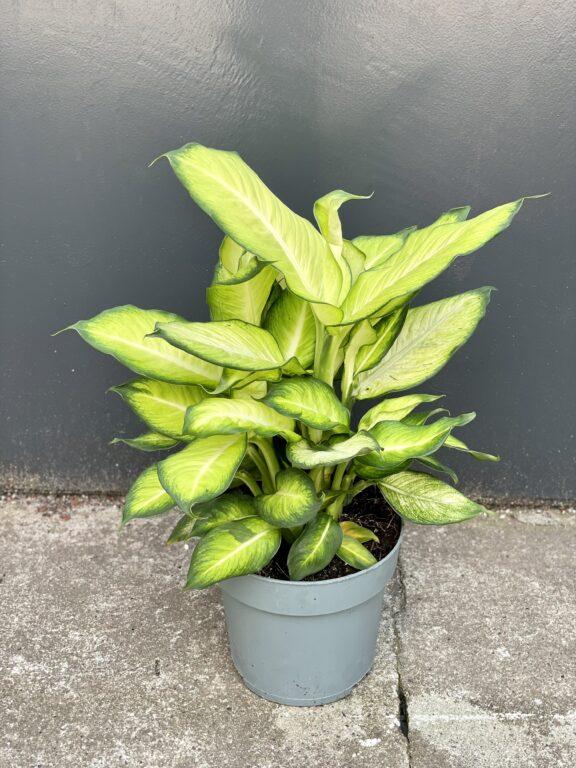 Zdjęcie rośliny Dieffenbachia Summer Style, ujęcie 1