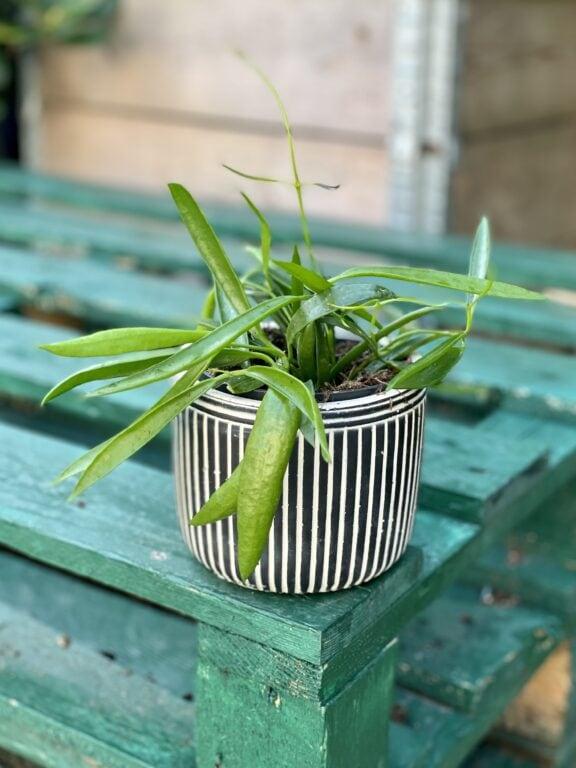 Zdjęcie rośliny Dischidia Philippinensis, ujęcie 1