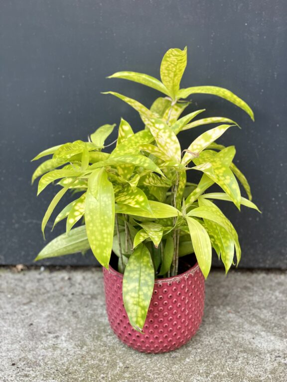 Zdjęcie rośliny Dracaena Surculosa Mike, ujęcie 1