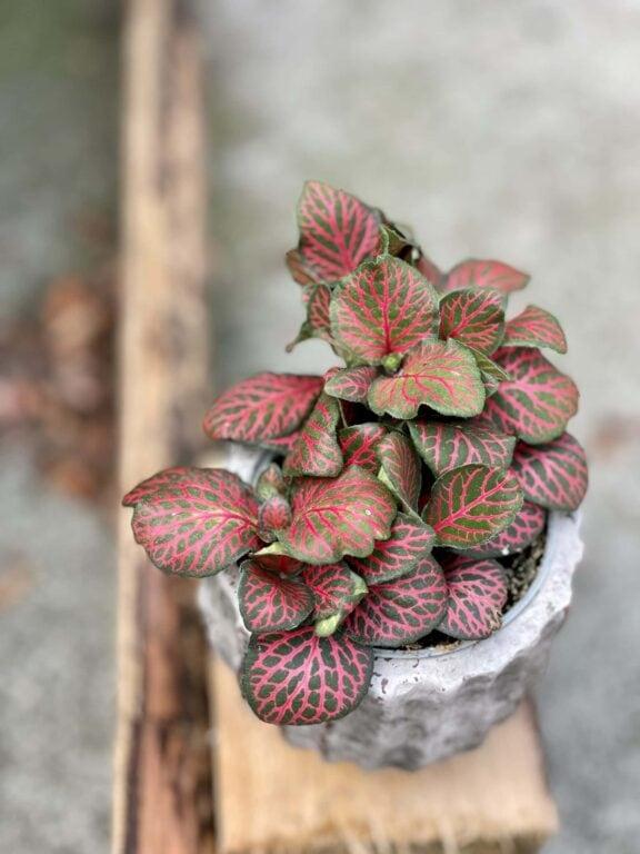 Zdjęcie rośliny Fittonia verschaffeltii Red Angel, ujęcie 1