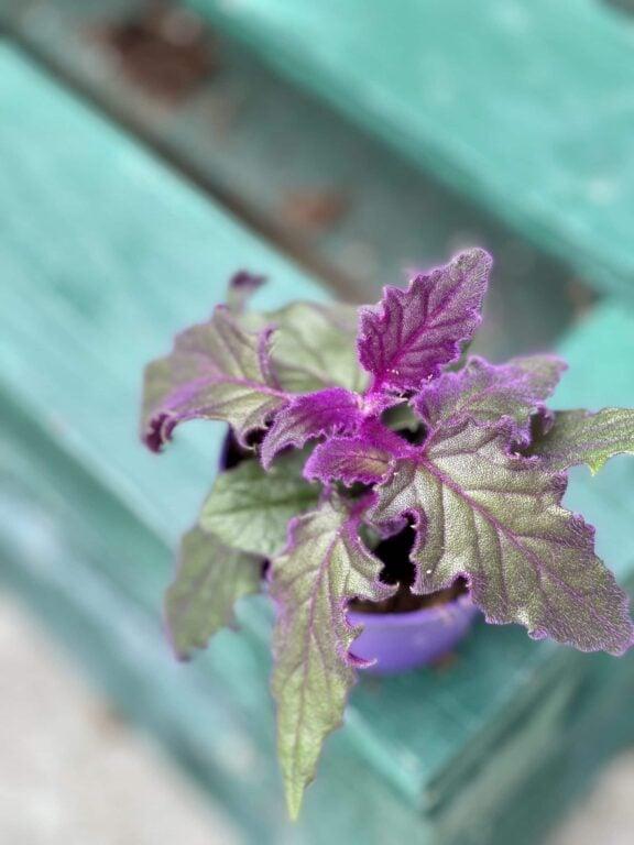 Zdjęcie rośliny Gynura Aurantiaca (Ginura Pomarańczowa), ujęcie 1