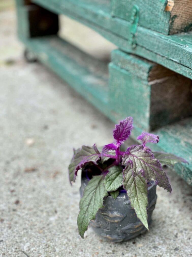 Zdjęcie rośliny Gynura Aurantiaca (Ginura Pomarańczowa), ujęcie 2