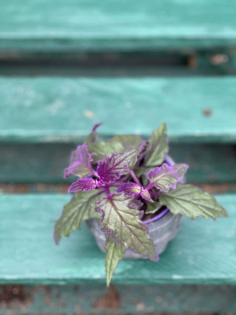 Zdjęcie rośliny Gynura Aurantiaca (Ginura Pomarańczowa), ujęcie 3