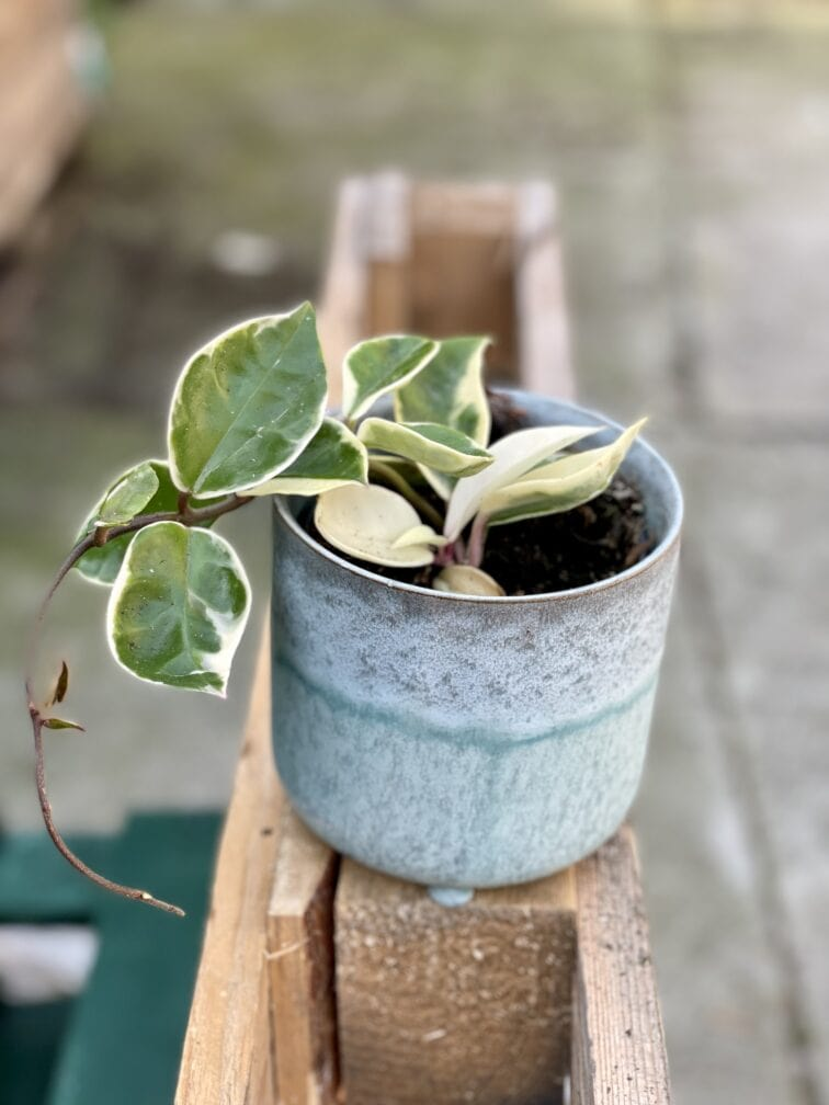 Zdjęcie rośliny Hoya carnosa albomarginata, ujęcie 1