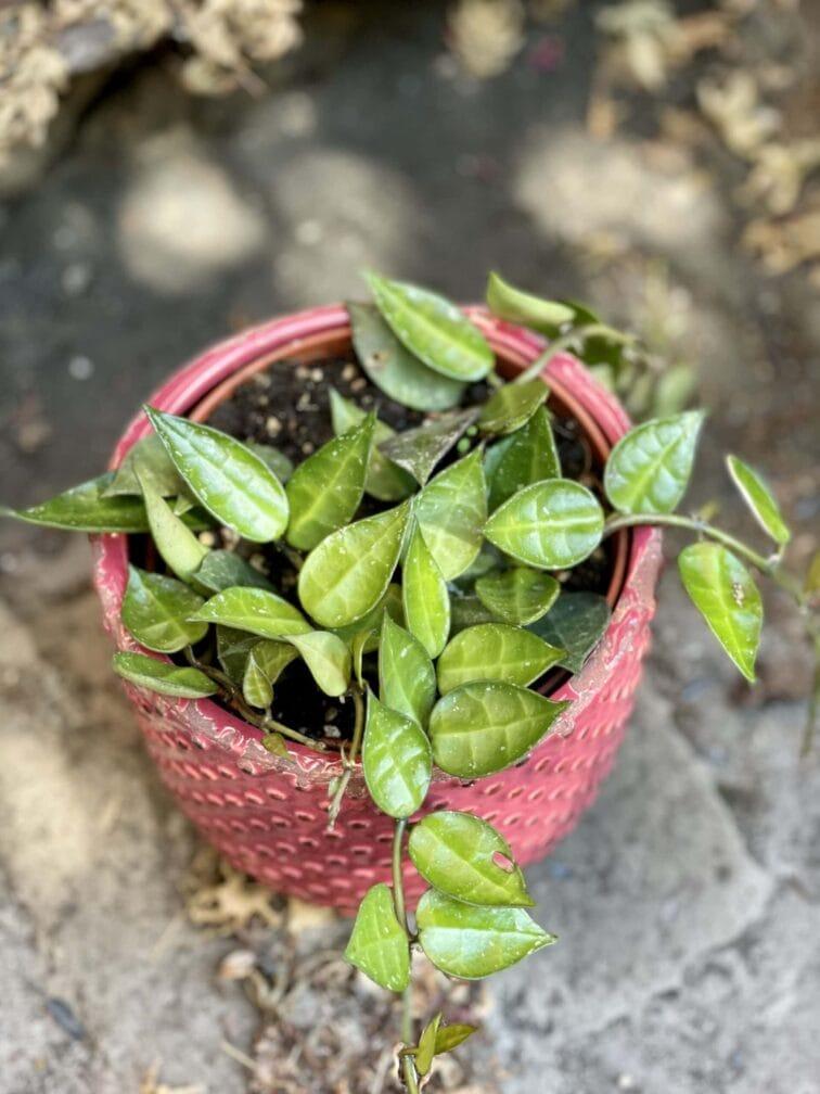 Zdjęcie rośliny Hoya Krohniana, ujęcie 1