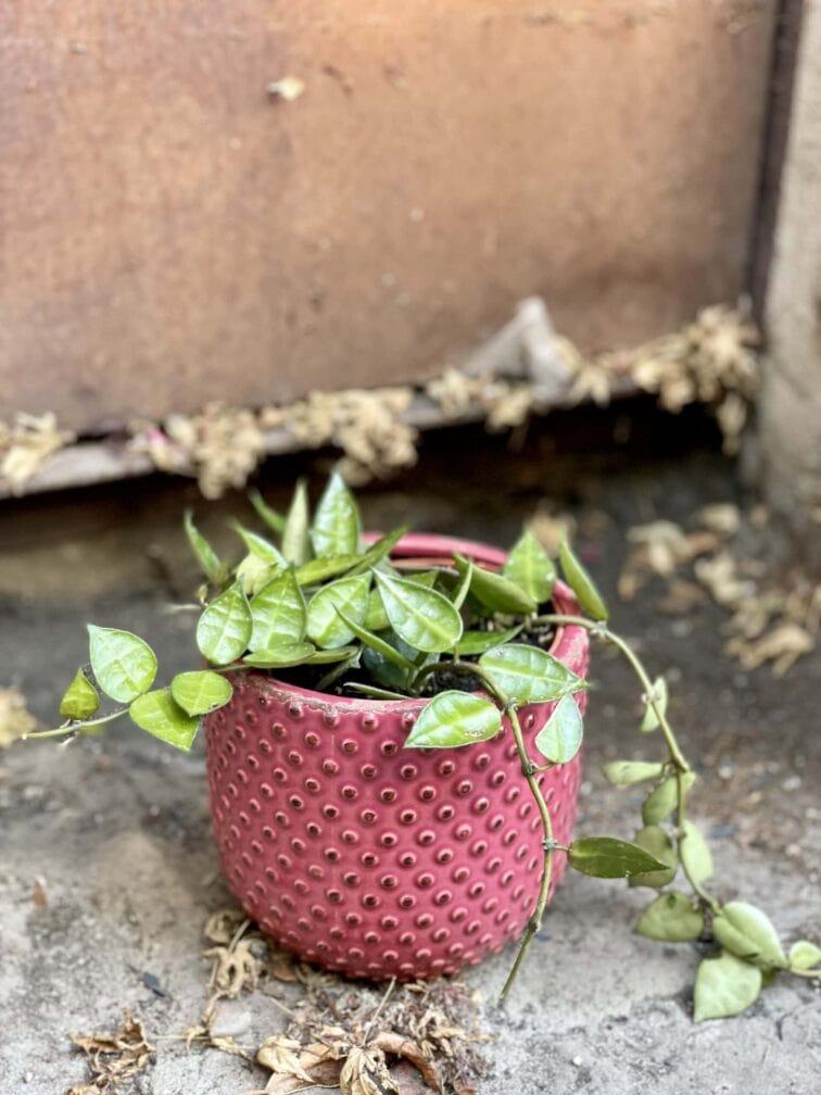 Zdjęcie rośliny Hoya Krohniana, ujęcie 2