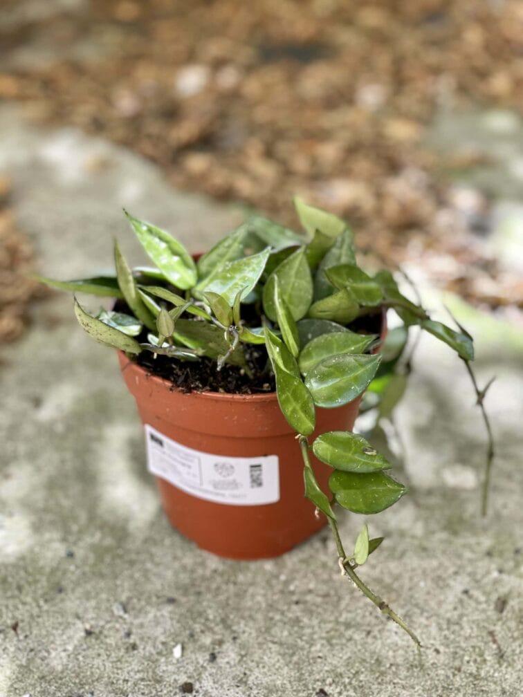 Zdjęcie rośliny Hoya Krohniana, ujęcie 3