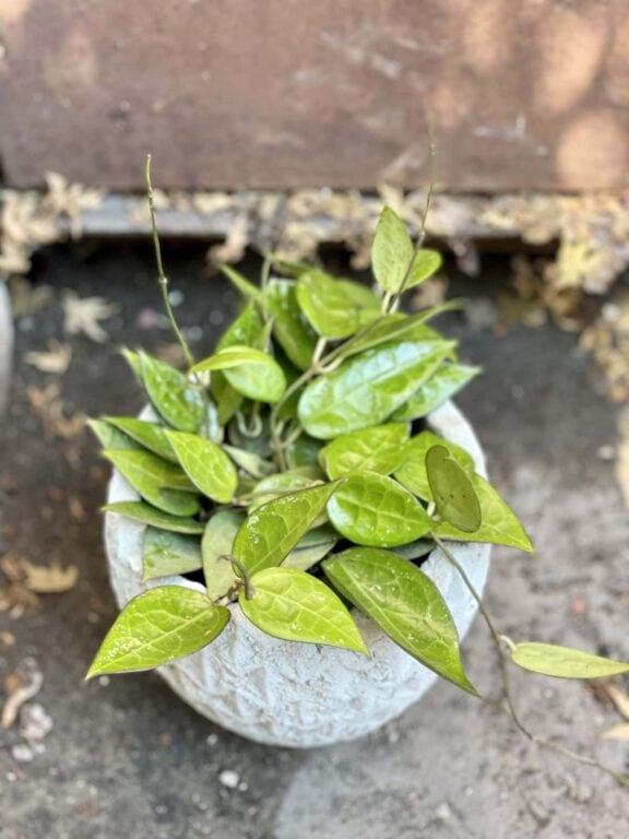 Zdjęcie rośliny Hoya parasitica Black Margin, ujęcie 1