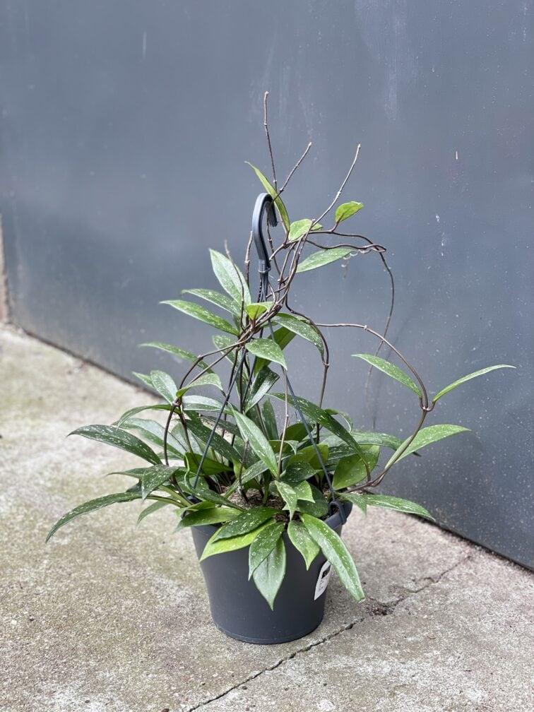 Zdjęcie rośliny Hoya Publicalyx, ujęcie 1