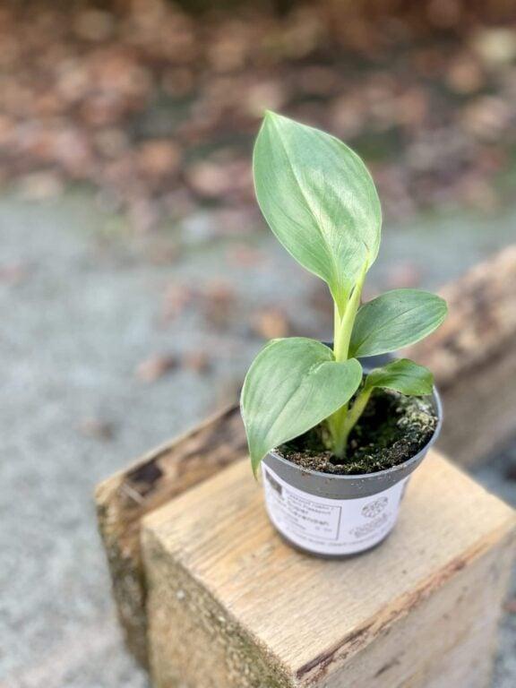 Zdjęcie rośliny Musa Super Dwarf Cavendish, ujęcie 1