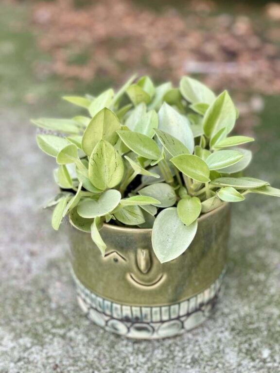 Zdjęcie rośliny Peperomia Pixie Lime, ujęcie 1