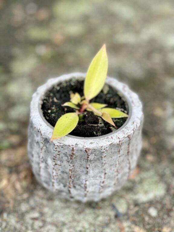 Zdjęcie rośliny Philodendron Orange, ujęcie 1