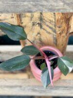 Zdjęcie rośliny Philodendron Pink Princess, ujęcie 1