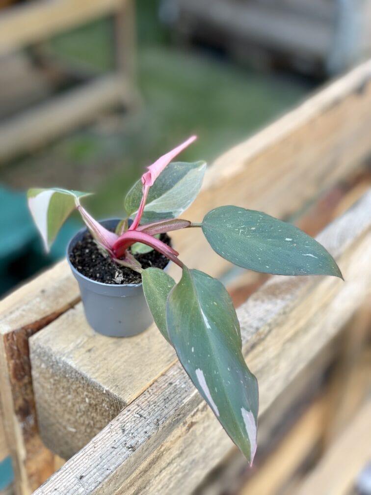 Zdjęcie rośliny Philodendron Pink Princess, ujęcie 2