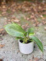 Zdjęcie rośliny Philodendron Squamiferum, ujęcie 1