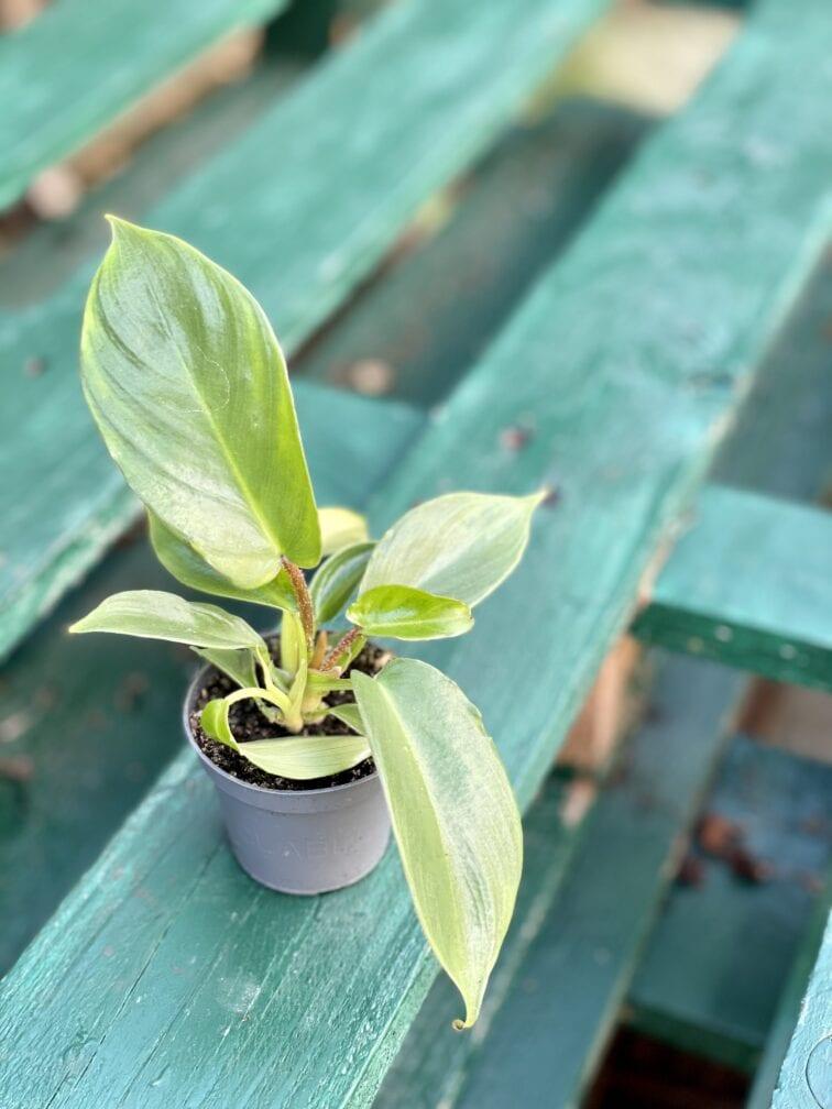 Zdjęcie rośliny Philodendron Squamiferum, ujęcie 2