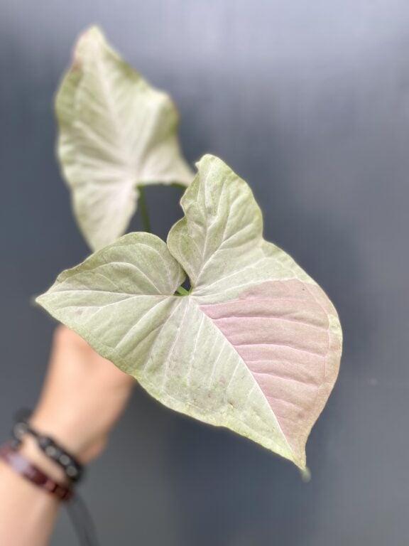 Zdjęcie rośliny Syngonium Pink Spot sadzonka, ujęcie 1