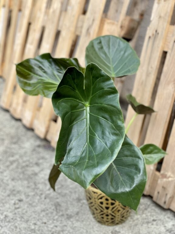 Zdjęcie rośliny Alocasia Regal Shields, ujęcie 1