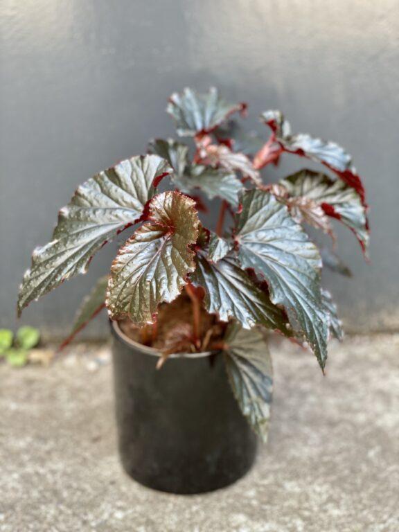 Zdjęcie rośliny Begonia Black Magic, ujęcie 1