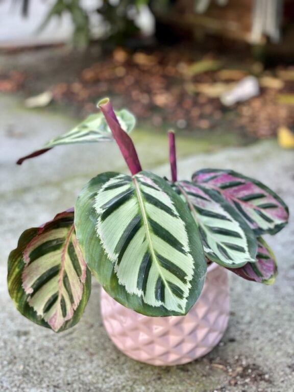 Zdjęcie rośliny Calathea Roseopicta Cora, ujęcie 1