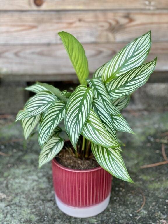 Zdjęcie rośliny Calathea Vittata, ujęcie 1