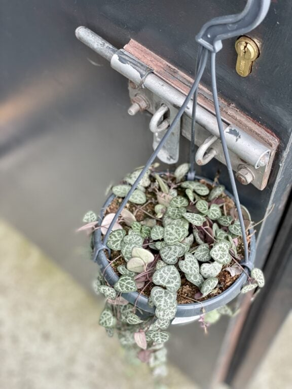 Zdjęcie rośliny Ceropegia woodii, ujęcie 1
