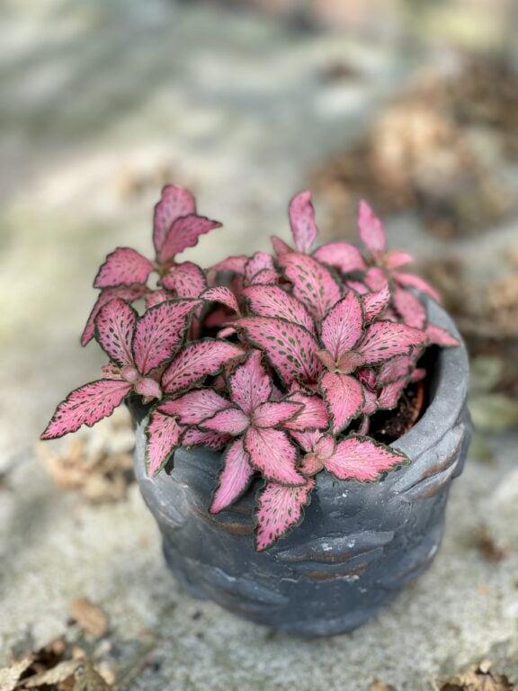 Zdjęcie rośliny Fittonia Pink Forest Flame, ujęcie 1