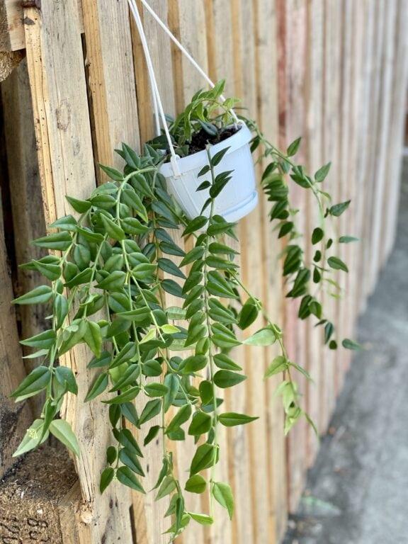Zdjęcie rośliny Hoya Bella, ujęcie 1