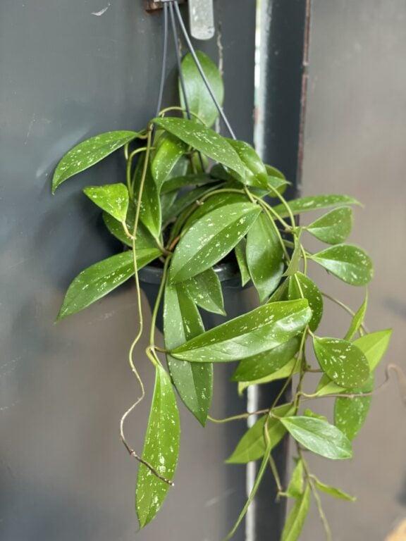 Zdjęcie rośliny Hoya Carnosa Splash, ujęcie 1