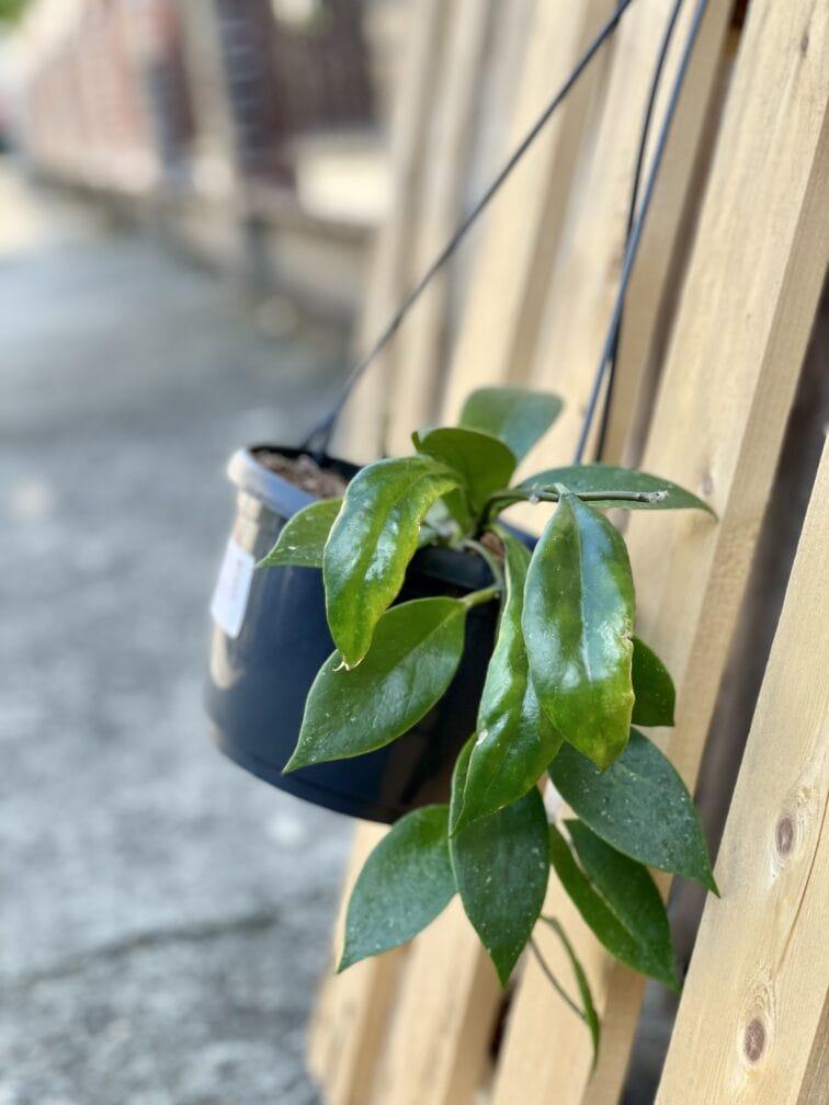 Zdjęcie rośliny Hoya carnosa Sunshine, ujęcie 2