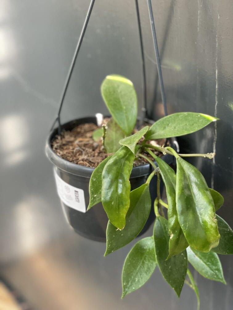 Zdjęcie rośliny Hoya carnosa Sunshine, ujęcie 3