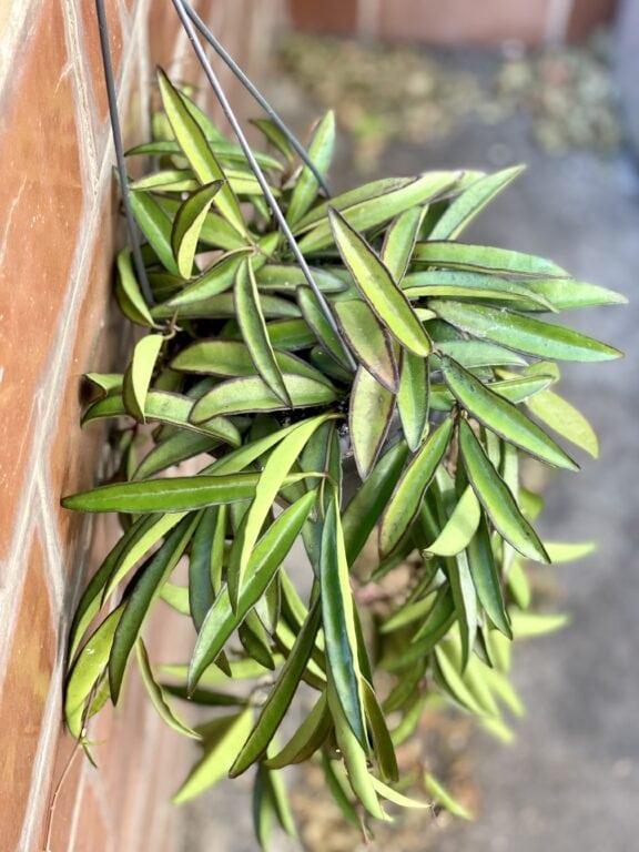 Zdjęcie rośliny Hoya Wayetii, ujęcie 1